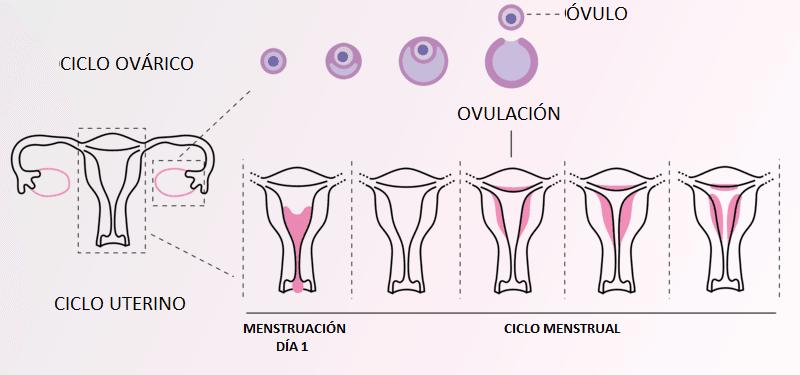periodo mestrual ovulación sangrado cuando comienza el ciclo menstrual